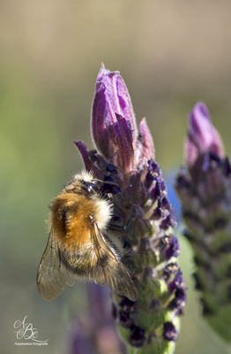 Hummel an Lavendel  -Mai16-