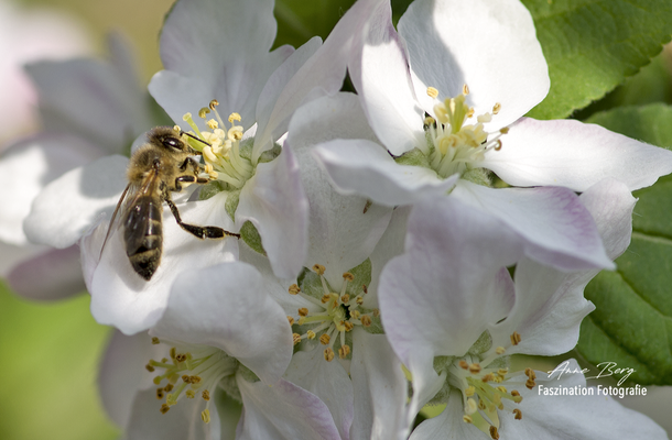 Biene an Apfelblüte  -April 2018-