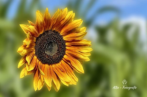 Sonnenblume -Juli21-