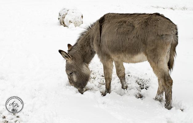 Esel im Schnee  -Jan17-
