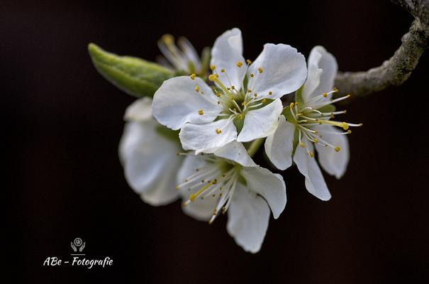 Baumblüte (Pflaume) -April 2021-