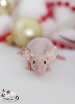 dominant Hairless - Danke für das Bild an Once uoon a mouse!