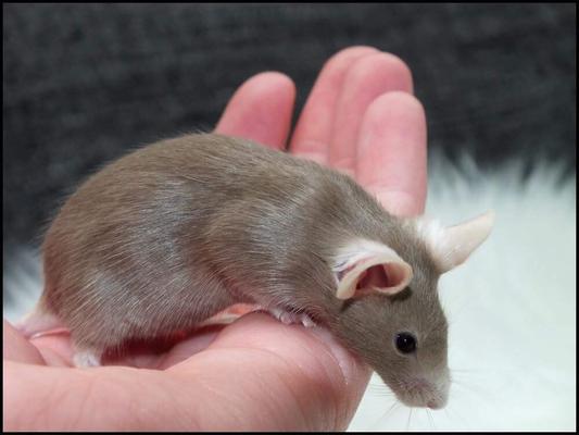 Reverse Siam (Beige?) - Danke für das Bild an Spotted Mousery!