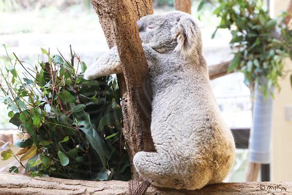 ぐてっと寝ているかわいらしいコアラ(神戸市立王子動物園/2021年)
