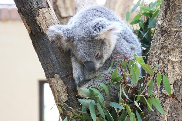 まどろむコアラ(神戸市立王子動物園)
