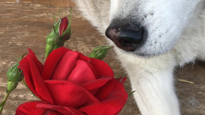 Ice schnüffelt den verführerischen Duft einer Gartenrose