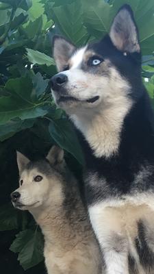 Huskyhündinnen Ice und Arizona stehen Modell.