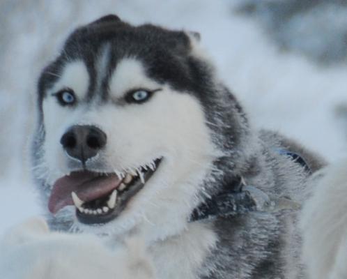 """""""... und du hörst nichts als das Hecheln der Hunde und das Knirschen des Schnee`s unter den Kufen..."""