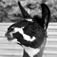 LLamawanderung · Lama-Erlebnis · Lama-Kindergeburtstag · Lama-Events · Tiergestützte pschologische Beratung · Sommerein · Niederösterreich