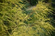 Gelbe Fadenzypresse - Tannenbaumplantage Wälchli Weihnachtsbäume Wäckerschwend