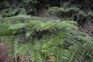Deckäste Weisstanne - Tannenbaumplantage Wälchli Weihnachtsbäume Wäckerschwend