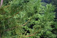 Japanische Sicheltanne - Tannenbaumplantage Wälchli Weihnachtsbäume Wäckerschwend