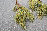 Palmfrüchte - Tannenbaumplantage Wälchli Weihnachtsbäume Wäckerschwend
