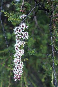 Fleurs de Kanuka