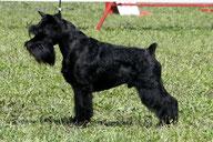Cefey Black Alvis