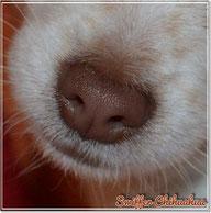 Chi-Love.de   Chihuahua   Swiffer Chihuahua   Hundenase   Sinne und Nervensystem