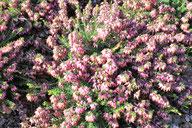 Husmann Heide-Jungpflanzen Erica Carnea Rosy Gem