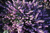 Husmann Heide-Jungpflanzen Erica X Darleyensis J.W. Porter