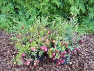 Husmann Heide-Jungpflanzen Vaccinium Macrocarpon Big Pearl