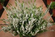 Husmann Heide-Jungpflanzen Calluna Kirby White