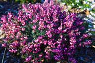 Husmann Heide-Jungpflanzen Erica X Darleyensis Furzey