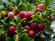 Husmann Heide-Jungpflanzen Vaccinium Vitis-Idaea Red Pearl