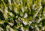 Husmann Heide-Jungpflanzen Calluna Gold Haze
