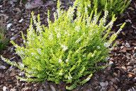Husmann Heide-Jungpflanzen Calluna Spronk