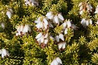 Husmann Heide-Jungpflanzen Erica Carnea Golden Starlet