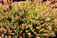 Husmann Heide-Jungpflanzen Frühlings-Bunte Calluna Spring Torch