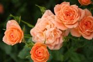 Husmann Rosen-Jungpflanzen Orange Imp