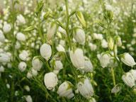 Husmann Heide-Jungpflanzen Daboecia Alberta White