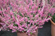 Husmann Heide-Jungpflanzen Calluna Arabella