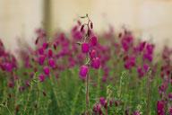 Husmann Heide-Jungpflanzen Daboecia Goscote