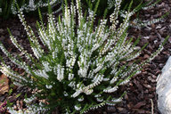 Husmann Heide-Jungpflanzen Calluna Hammondii