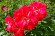 Husmann Rosen-Jungpflanzen Rubinia