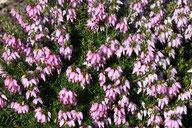 Husmann Heide-Jungpflanzen Erica Carnea Pink Spangles