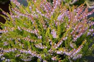 Husmann Heide-Jungpflanzen Calluna Cuprea