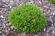 Husmann Heide-Jungpflanzen Hebe Green Globe
