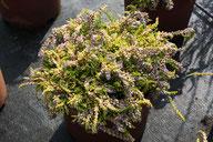 Husmann Heide-Jungpflanzen Calluna Golden Carpet