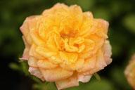 Husmann Rosen-Jungpflanzen Fairy Gold