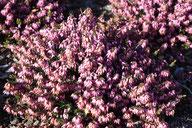 Husmann Heide-Jungpflanzen Erica Carnea March Seedling