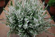 Husmann Heide-Jungpflanzen Calluna Hammondii aurefolia