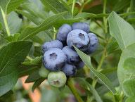 Husmann Heide-Jungpflanzen Vaccinium Corymbosum Bluecrop