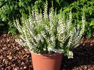 Husmann Heide-Jungpflanzen Calluna Long White