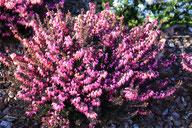 Husmann Heide-Jungpflanzen Erica X Darleyensis Rubina