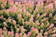 Husmann Heide-Jungpflanzen Frühlings-Bunte Calluna Kerstin
