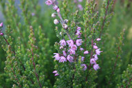 Husmann Heide-Jungpflanzen Calluna Jysk Naturform