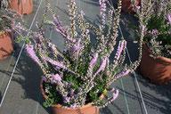 Husmann Heide-Jungpflanzen Calluna Hammondii rubifolia