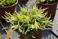 Husmann Heide-Jungpflanzen Calluna Gold Mist